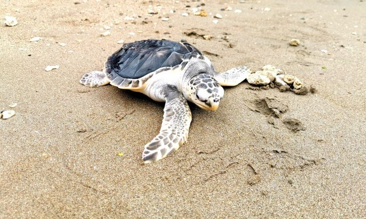 Out Of the Net And Into the Surf – A Ridley Turtle Story